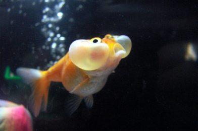 The bizarre genomes of domesticated fish