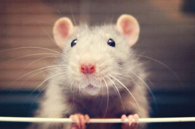 The key to a rat's sense of contact? It's all in how the whiskers bend